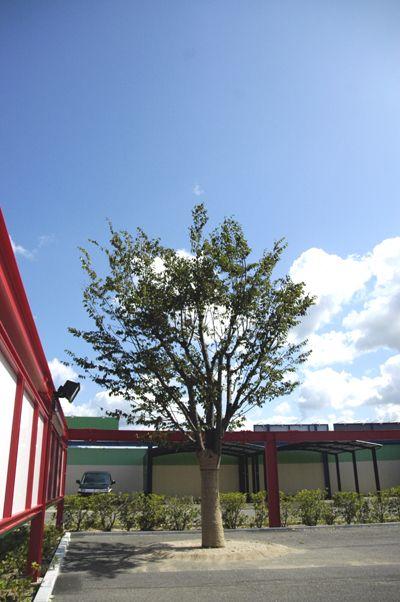 Garireo_tree2