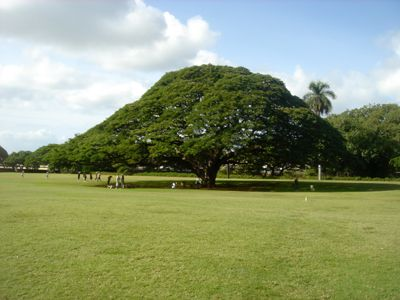 Monkypod_tree